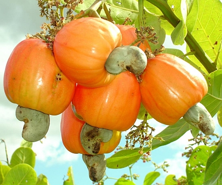 fruto-del-maranon-anacardo