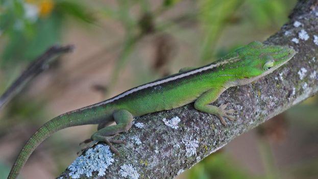 Los investigadores creen que la especie de lagarto Anolis porcatus, llegó a Brasil gracias al transporte marítimo. (wikimedia)