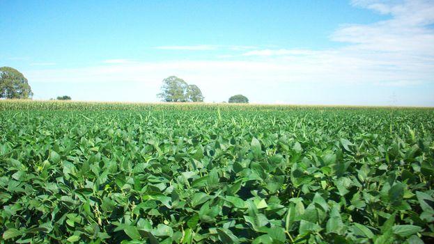 Cultivo de soja. (CC)