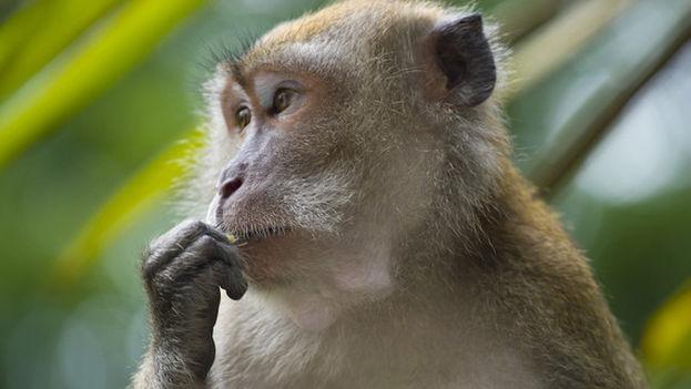 Ejemplar de macaco cangrejero, el modelo animal que se ha utilizado para ensayar la nueva vacuna. /  Wikimedia / André Ueberbach