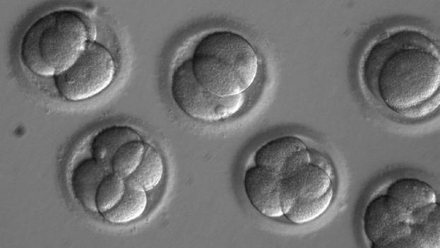 Embriones dos días después de la coinyección de los componentes CRISPR con el esperma del donante. (OHSU)