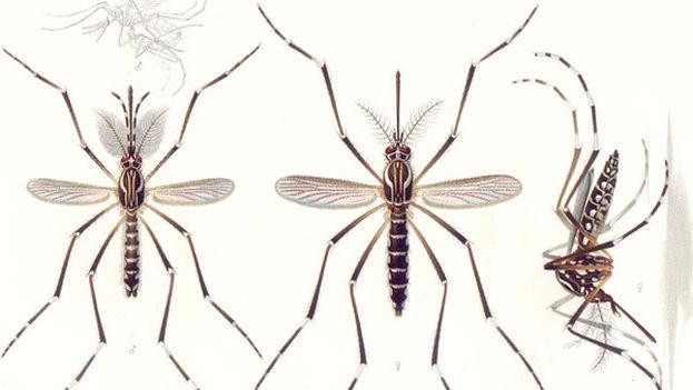 Ilustración de 'Aedes aegypti' del año 1905. A la izquierda, el macho. En el centro y a la derecha, la hembra. Arriba, pareja copulando. (Emil August Goeldi)