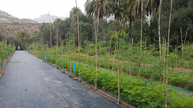 Plantaciones de moringa de Vecilla en Gran Canaria (Sinc)