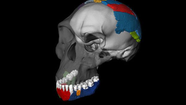 Reconstrucciónen 3D del cráneo de de un Homo habilis a partir de los fósiles de la garganta de Olduvai. / Philipp Gunz, Simon Neubauer & Fred Spoor