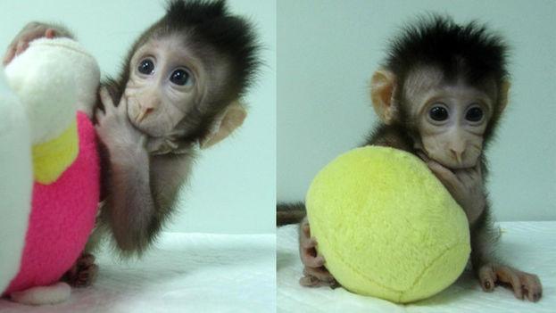 Zhong Zhong y Hua Hua son los primeros monos clonados mediante transferencia nuclear de células somáticas. (Qiang Sun and Mu-ming Poo / Chinese Academy of Sciences)
