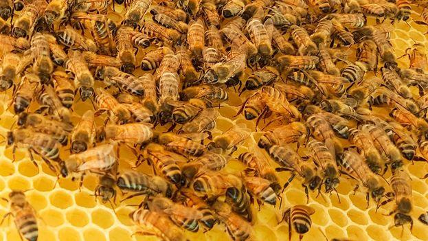 Unas 180.000 colmenas y 2.800 apicultores producen en Cuba unas 8.000 toneladas anuales de miel de abejas. (Pixabay)