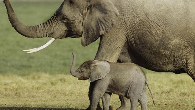 Los científicos rastrearon el genoma del elefante africano y encontraron al menos 40 copias de genes que codifican la p53. (Art Wolfe)