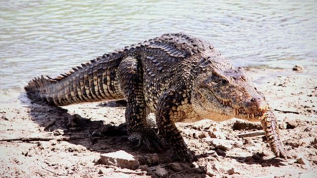 El cocodrilo cubano es uno de los más agresivos de su especie. (Gerry Zambonini/Flickr)