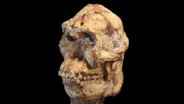 El cráneo de Little Foot. (Jason Heaton/'Nature')