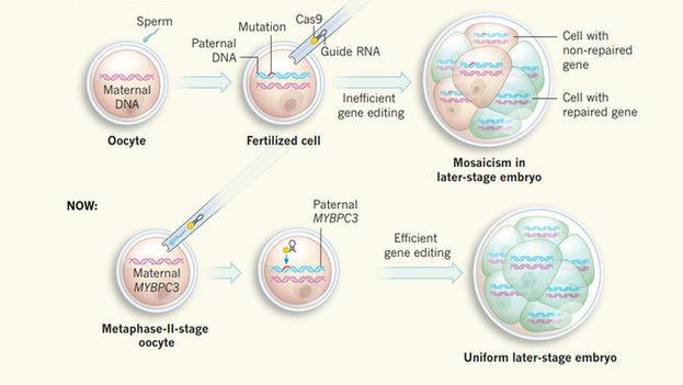 En estudios anteriores primero se fertilizaba el óvulo con el esperma y luego se añadían los componentes de edición genética, pero ahora se inyectan a la vez que el esperma, con resultados más eficientes y sin mosaicismo. (Nerges Winblad & Fredrik Lanner/Nature)