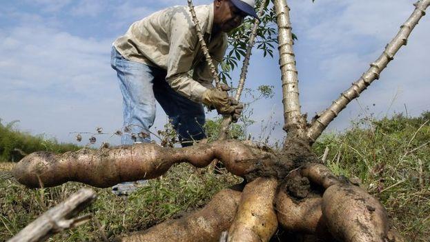 La yuca modificada daría rendimientos superiores a los cultivos tradicionales. (EFE)