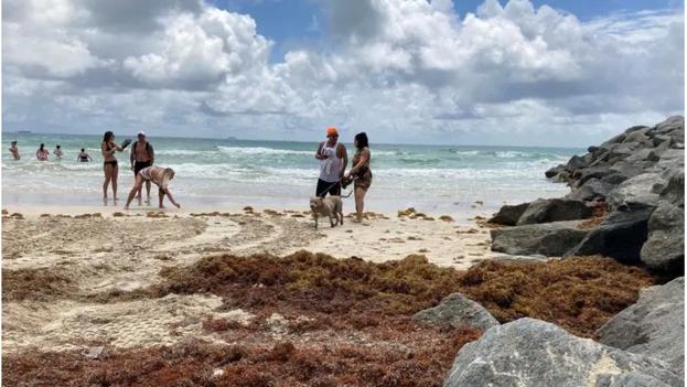 """El sargazo que prolifera a lo largo de las playas """"puede resultar en altas concentraciones de gas de sulfuro de hidrógeno tóxico"""". (EFE)"""