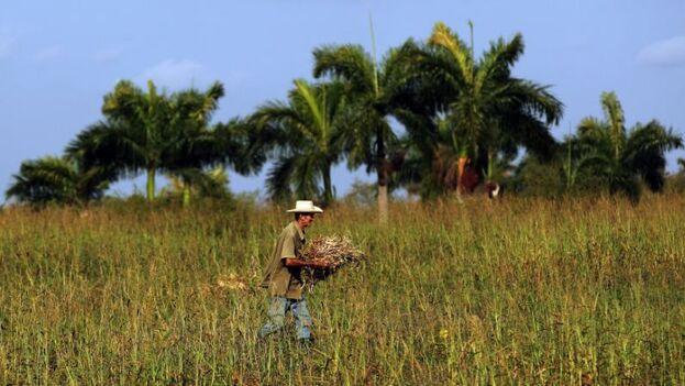 Los territorios más afectados por la plaga se encuentran en Pinar del Río, Artemisa, Mayabeque, Matanzas, Villa Clara, Cienfuegos, Sancti Spíritus y Ciego de Ávila. (EFE)