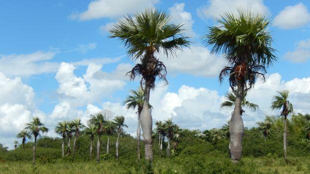 La palma Barrigona, Calpo thrinax wrightii, una especie endémica del occidente cubano. (CC)