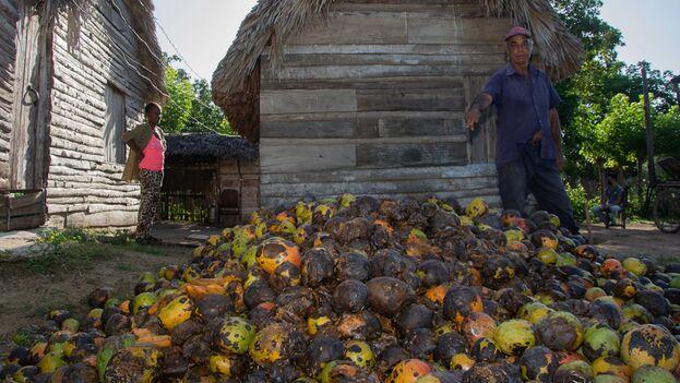 Cientos de cajas de mango se pudieron en los campos de Camagüey en la actual cosecha de 2021. (Adelante)