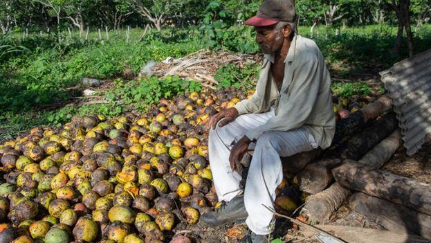 La empresa Conservas de Vegetales de Camagüey no puede asumir toda la producción de mango del territorio. (Adelante)