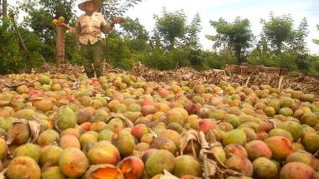 Cosecha de mango perdida en Artemisa. (El Artemiseño)