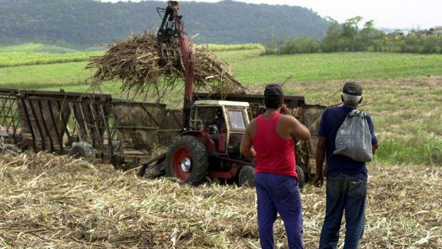 Cuba podría fabricar etanol produciendo en paralelo unos dos millones de toneladas de azúcar en la industria azucarera. (EFE)