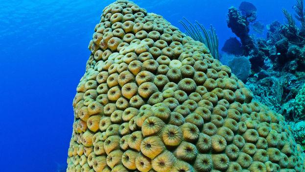 La Isla pretende repoblar sus valiosos arrecifes dañados por enfermedades o por la acción del hombre. (American Museum of Natural History)