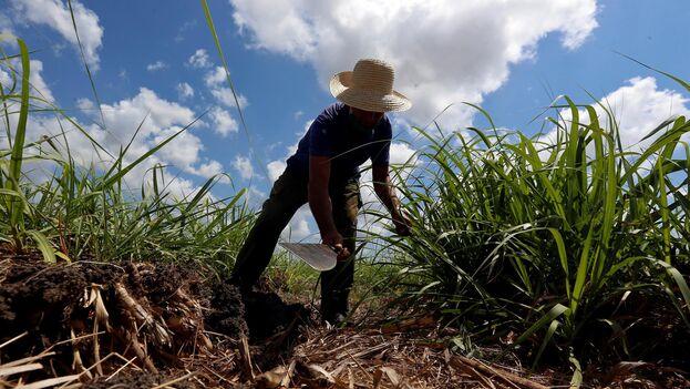 Ein Bauer arbeitet auf einem Zuckerrohrfeld in Madruga   Bildquelle: https://t1p.de/clwa © EFE/Ernesto Mastrascusa   Bilder sind in der Regel urheberrechtlich geschützt