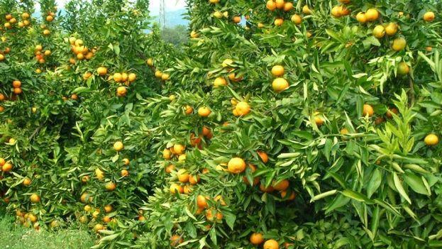 Naranjales.
