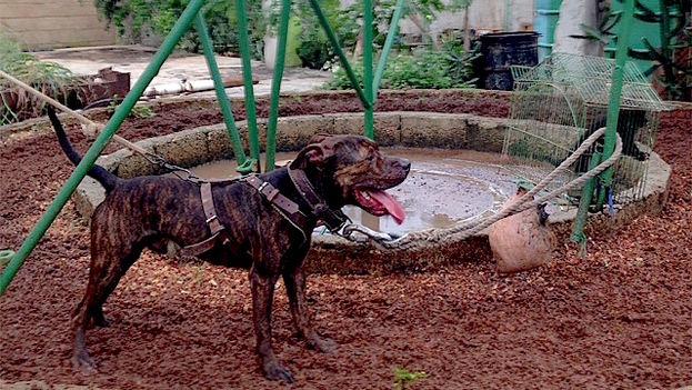 Perro de pelea en Cuba. (14ymedio)