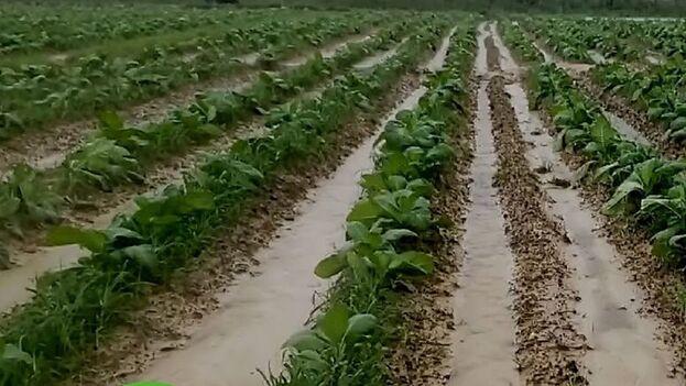 Los campos de Pinar de Río quedaron anegados por las lluvias vinculadas a Delta y Eta. (Telepinar)