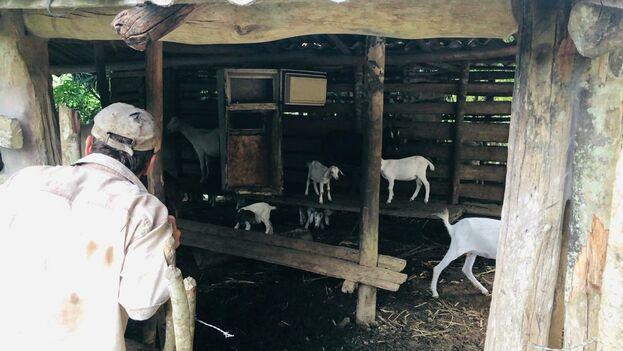 Ya adentrada la tarde el padre de la familia recoge la manada de chivos mientras confiesa que alguna vez soñó convertirse en un gran productor de leche y queso de cabra. (14ymedio)