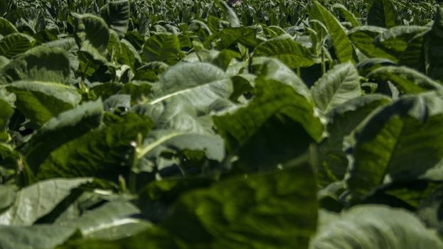 Vega de tabaco en la provincia de Pinar del Río