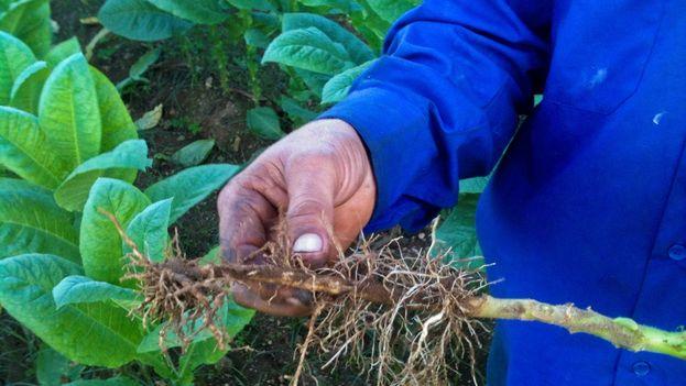 """El veguero William Delgado Rodríguez  muestra el daño en el bajo tallo y las raíces causado por la plaga conocida como """"pata prieta"""". (14ymedio)"""