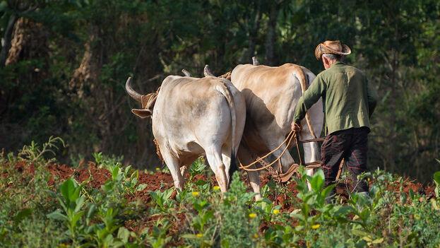 Los agricultores cubanos han sido duramente golpeados por la falta de insumos, el déficit de combustible y la sequía. (Flickr/Kuhnmi)