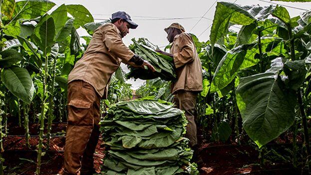 No es la primera vez que las autoridades esgrimen el embargo de Estados Unidos como causa del descenso de la producción. (Cubadebate)