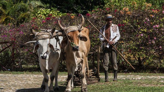 Un campesino cubano ara la tierra con sus bueyes (CC)