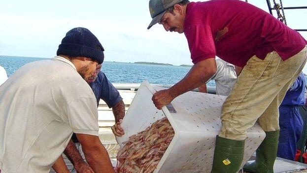 Por décadas, el consumo de camarones en Cuba se ha visto como un lujo. (Trabajadores)