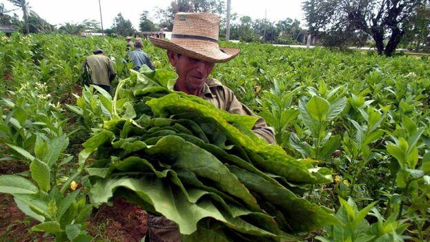 El sector emplea a unos 200.000 trabajadores en la Isla, que se elevan hasta los 250.000 en el pico de la cosecha. (EFE)