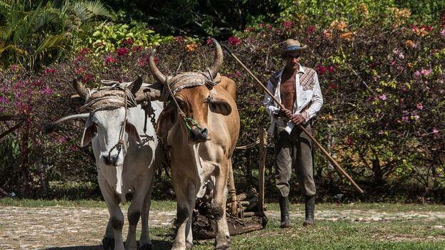 La oferta es, además, muy limitada. Machetes, herraduras, yugos para bueyes y fertilizante dominan el catálogo donde brillan por su ausencia las grandes demandas del sector agrícola cubano.