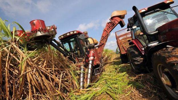Se ha orientado a los operarios de las maquinarias agrícolas marca Case, de fabricación brasileña, que corten la caña dos centímetros por debajo de la superficie. (EFE)