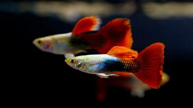 Estos peces de agua dulce son muy populares por la facilidad con que se mantienen en las peceras. (Anipedia)