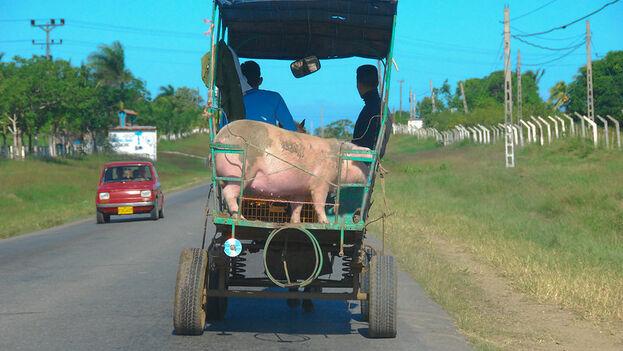 Cada fin de año los precios de la carne de cerdo suben en la medida en que se acerca la Navidad y el 31 de diciembre. (Paul K.)
