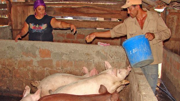 Un productor privado de cerdos. (14ymedio)