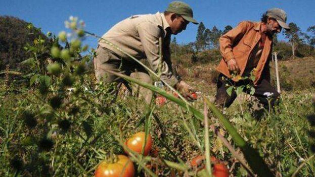 La temporada de tomate está concluyendo en la Isla, en la medida en que se acerca el verano. (ACN)