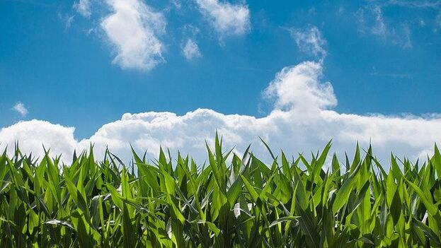 El maíz transgénico busca extender el proyecto a toda la Isla para paliar el problema de la alimentación del ganado. (Pixabay)