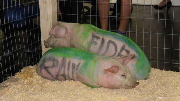 'Raúl' y 'Fidel', los cerdos de la performance prohibida en Cuba, salieron este jueves a desfilar por la Market Gallery de Miami. (14ymedio)