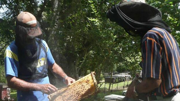 Cualquier apicultor particular que tenga más de 25 colmenas no solo está obligado a afiliarse a una cooperativa, sino que debe entregar la mayor parte de su miel al Estado y conservar apenas la destinada al consumo doméstico. (Granma)