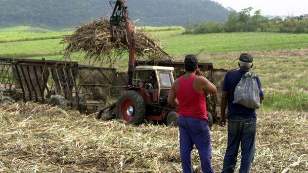 Como es habitual, el Gobierno cubano culpó al embargo de EE UU, además de a la pandemia de covid, la obsolescencia tecnológica y la falta de fertilizantes, por los malos resultados de la zafra. (EFE/Zoila Amelia/Archivo)
