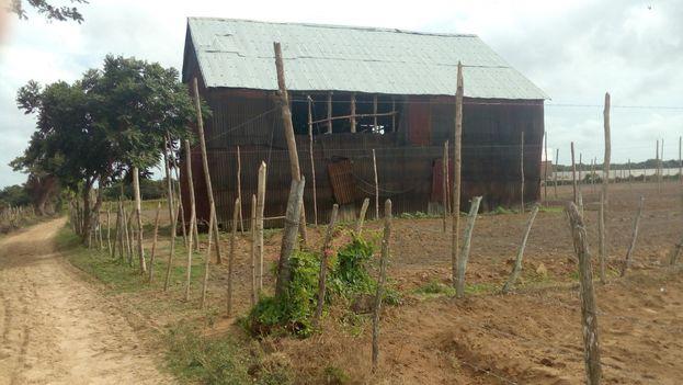 Las casas de secado del tabaco, hechas con cubiertas ligeras, son suceptibles de tener goteras y mojarse con las lluvias. (14ymedio)