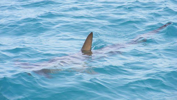 Cuba, según el acuerdo, tendrá que proporcionar capacitación a los pescadores para identificar tiburones y registrar su captura. (CC)