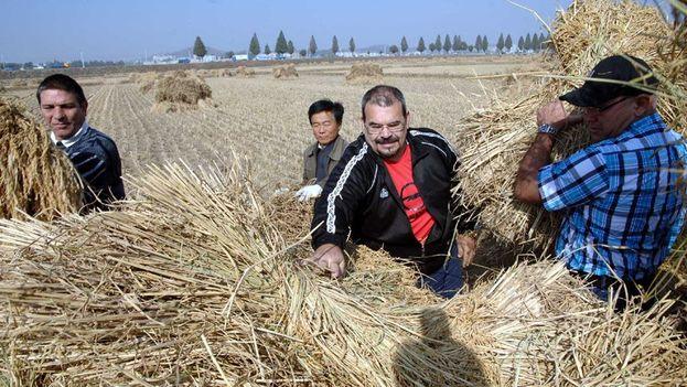 German Hermin Ferrás Álvarez y varios miembros de la embajada recogen arroz en una granja norcoreana. (KCNA)