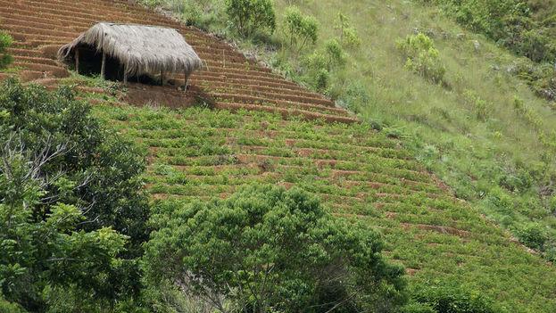 El Gobierno de Bolivia defiende que la coca, en estado natural, no es un estupefaciente y se deben aprovechar sus usos medicinales y alimenticios. (Flickr/Kristin Miranda)