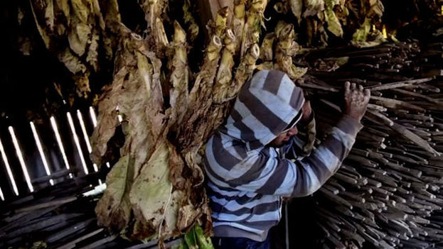 La OIT ha reconocido los importantes déficits persistentes en la lucha que sostiene junto a la industria tabacalera para acabar con el trabjo infantil, pese a los logros conseguidos. (Human Rights Watch)